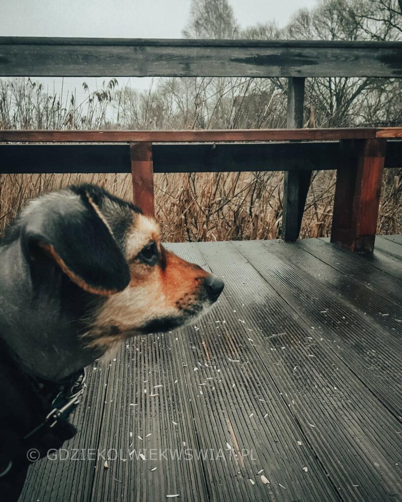 Biebrzański Park Narodowy pies Biebrza