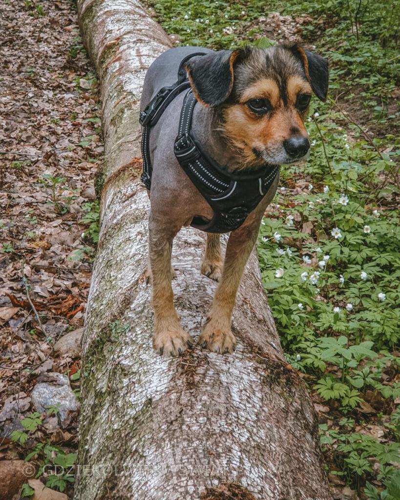 Wigierski Park Narodowy z psem